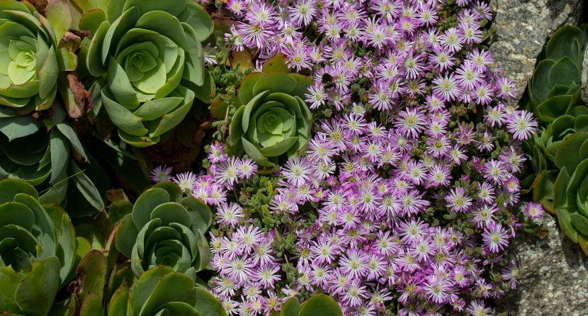 Mesembryanthemum and Aeonium cuneatum