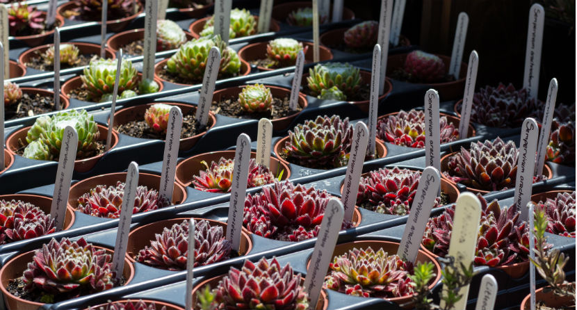 Plant sales - succulents propagated on St Michael's Mount
